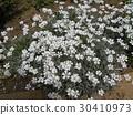cerastium, bloom, blossom 30410973