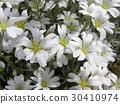 cerastium, bloom, blossom 30410974