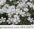 cerastium, bloom, blossom 30410975