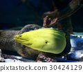 moray, moray eel, in the sea 30424129