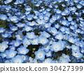 nemophila, blue, april 30427399