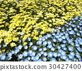 nemophila, california poppy, blue 30427400