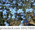 myosoti, myosotis scorpioide, bloom 30427600