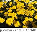 multicaule, yellow, spring 30427601
