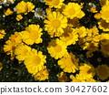 multicaule, yellow, spring 30427602