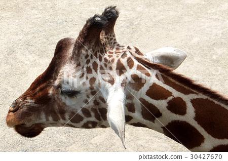 Giraffe 30427670