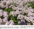 sweet alyssum, flower, flowers 30427777