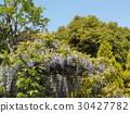 wisterium, flower, flowers 30427782