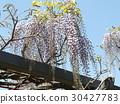 wisterium, flower, flowers 30427783
