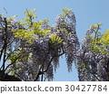 wisterium, flower, flowers 30427784