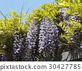 wisterium, flower, flowers 30427785