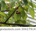kawazu cherry blossoms, fruit, dark purple 30427914