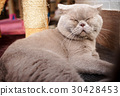 fatty grey cat is sleeping 30428453