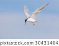 Common tern (Sterna hirundo) hovering and searchin 30431404