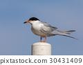 Common tern (Sterna hirundo) perching on a pole. 30431409