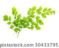 Maidenhair leaves, white background 30433795