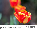 tulip blossom on green background 30434093