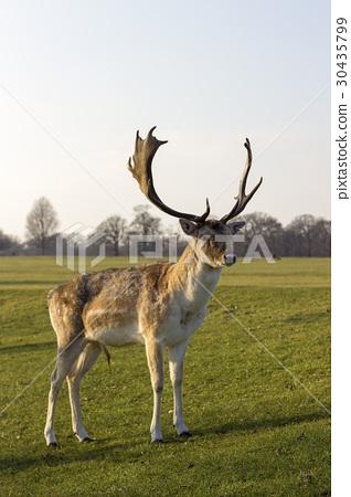 Deer in a park 30435799