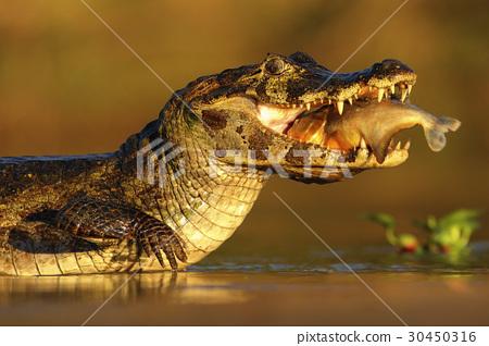 Yacare Caiman, crocodile with fish 30450316
