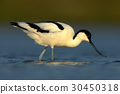 Black and white wader bird Pied Avocet 30450318