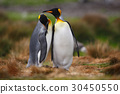 King penguin couple cuddling in wild nature 30450550