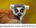 Portrait of Ring-tailed Lemur, Lemur catta 30450563