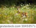 Roe deer, Capreolus capreolus, chewing leaves 30450571