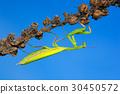 Mantis in the nature habitat wit dark blue sky 30450572