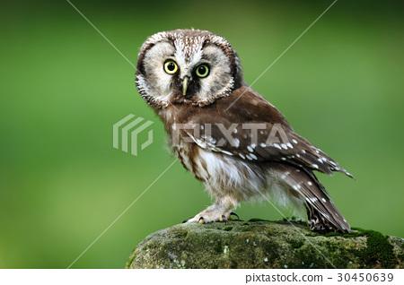 Small bird Boreal owl, Aegolius funereus 30450639
