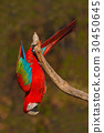 Red parrot Red-and-green Macaw, Ara chloroptera 30450645