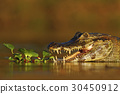 Portrait of Yacare Caiman in water plants 30450912
