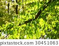 카츠라 나무의 신록 30451063