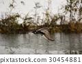 阿納斯黃花 水雞 鳥兒 30454881