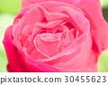 vegetation, vegetative, rose 30455623