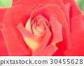 vegetation, vegetative, rose 30455628