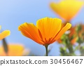 california, poppy, bloom 30456467