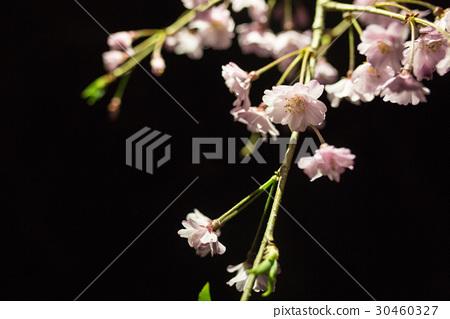 日本櫻花 30460327