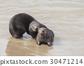 Playful Sea Otters 30471214