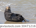 Alert Sea Otter in Moss Landing State Beach. 30471216