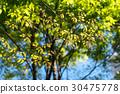 japanese zelkova, tender green, verdure 30475778