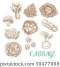 甘藍 包菜 椰菜 30477009