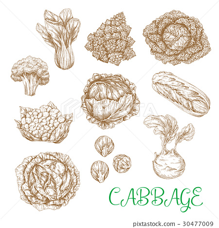 Vector sketch icons of cabbage vegetables 30477009