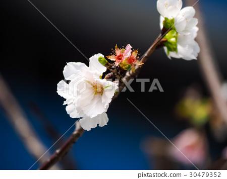 櫻花 30479352