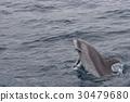 跳 东方宽吻海豚 海豚 30479680