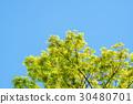japanese zelkova, tender green, verdure 30480701