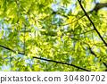 japanese zelkova, tender green, verdure 30480702