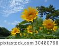 向日葵 花朵 花 30480798