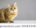 Cat sitting in front of gray background 30483048