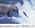 곰, 동물, 사냥 30483172