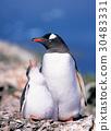 남극, 동물, 젠투펭귄 30483331